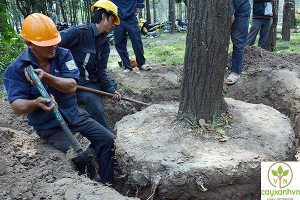 Sau khi cắt cành Cây xanh Việt Nam tiến hành bứng cây để di dời cây xanh