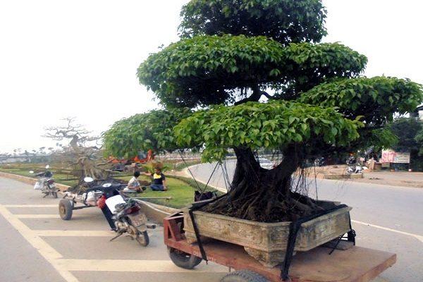 Dịch vụ thu mua cây xanh quý hiếm của công ty Cây xanh Việt Nam