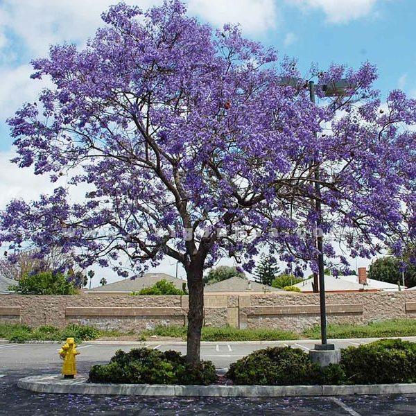 cây phượng tím