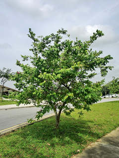 Cây khế được trồng làm cây bóng mát