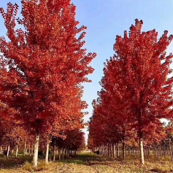 bán cây phong lá đỏ