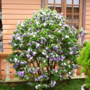 cây hoa nhài nhật