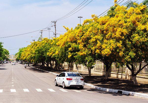 Cây bóng mát giáng hương ra hoa vàng rực rỡ