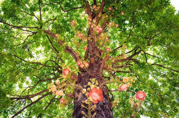 Cây Sala (Ngọc Kỳ Lân) được trồng phổ biến những nơi trang nghiêm.