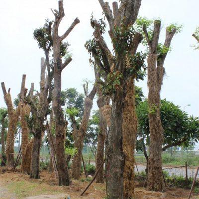 Cây mít có kích thước lớn được chọn làm cây bóng mát