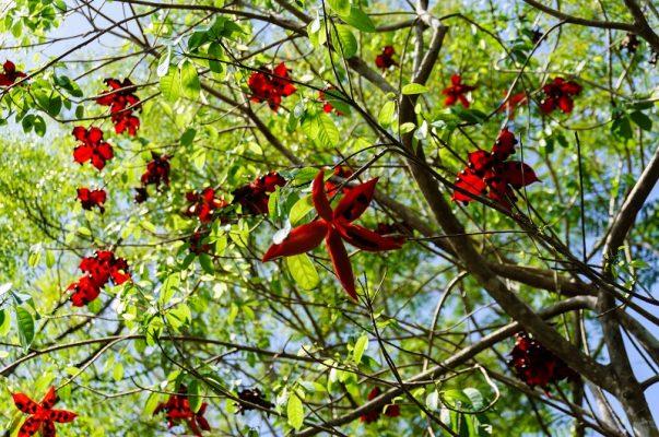 Cây sang làm cây bóng mát cho hoa đỏ rực rỡ