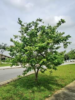 Cây khế được chọn là cây bóng mát của khuôn viên