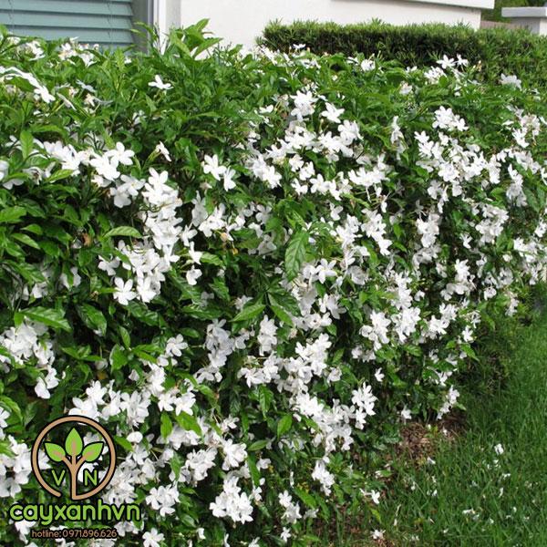 Cây Hoa Ngọc Bút ( Cây Lài Trâu )