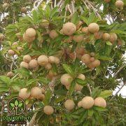Cây Hồng Xiêm ( Sapoche )